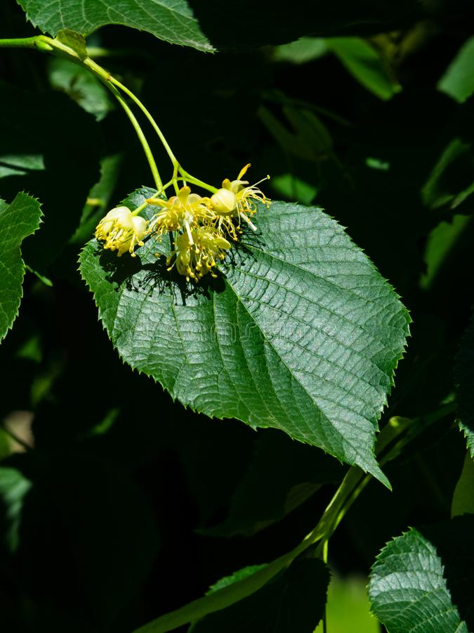 Common lime or Tilia europaea, flowers and leaf macro, selective focus, shallow DOF royalty free stock photo