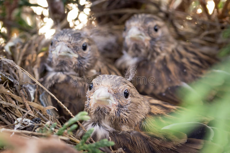 Download Common Linnet baby birds stock image. Image of feed, parent - 31689489