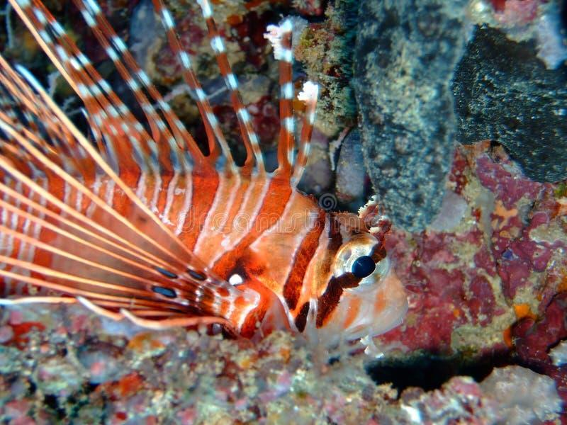 Common lionfish, Maldives
