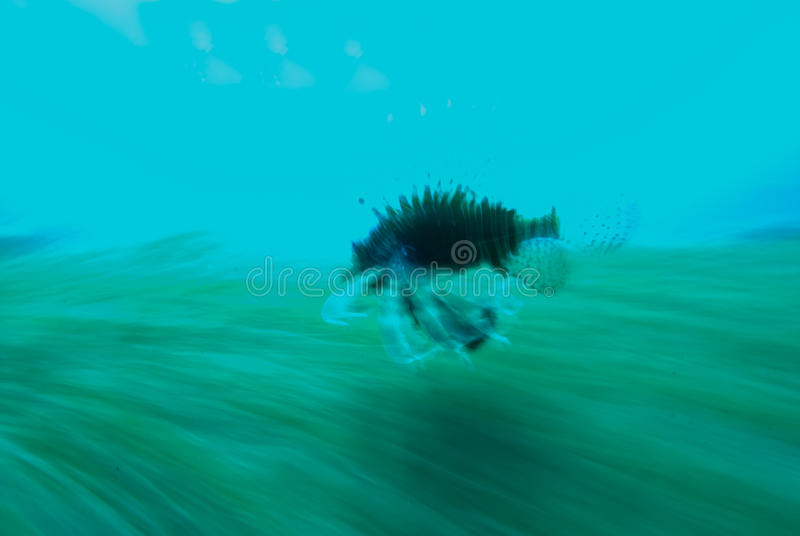 Download Common Lionfish (Pterois Miles) Stock Photo - Image: 12757818