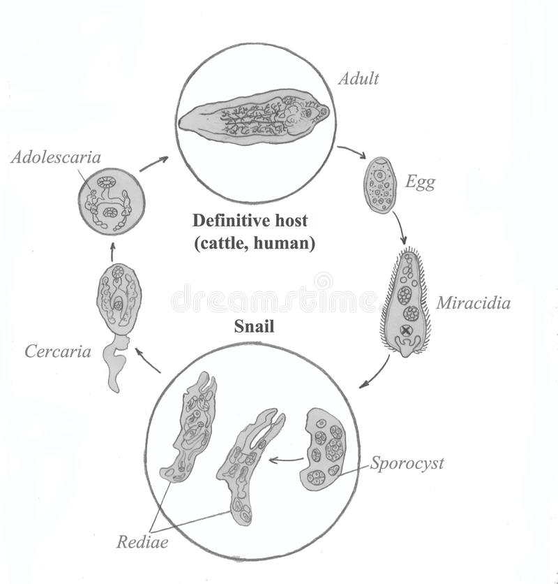 Common Liver Fluke Life Cycle Hand Drawing Sketch Stock
