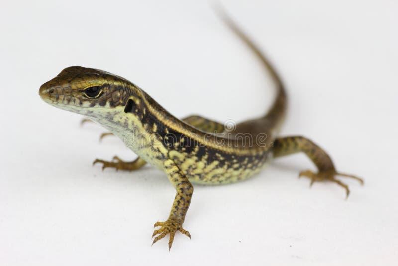 Lizard closeup. An Australian backyard lizard - on neutral background; isolated; rear slightly blurred royalty free stock photography