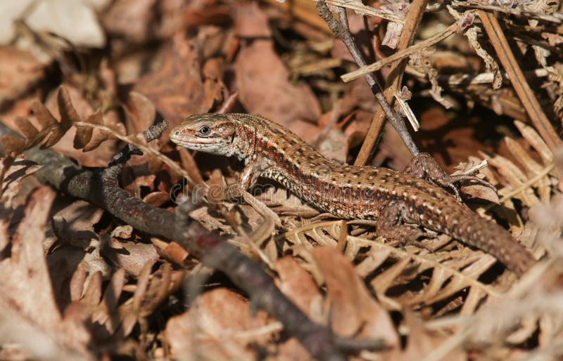 A stunning Common Lizard Lacerta Zootoca vivipara warming itself in the spring sunshine on leaf litter on the ground. royalty free stock photo