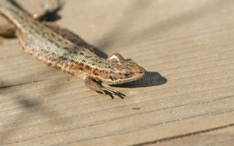 A beautiful Common Lizard Lacerta Zootoca vivipara warming up on a wooden walkway before hunting for insects. royalty free stock image