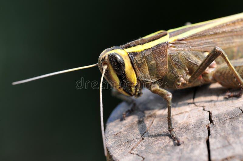Common locust royalty free stock photography