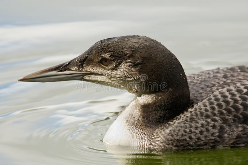 Download Common Loon stock photo. Image of beak, gava, great, diving - 16337948