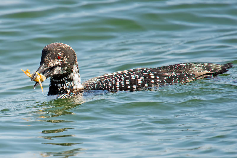 Download Common Loon stock image. Image of marine, jetty, ocean - 23984591