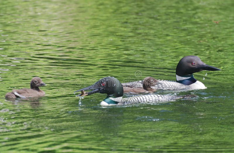 Common Loon Gavia immer Parent feeding Baby Chick on lake royalty free stock images