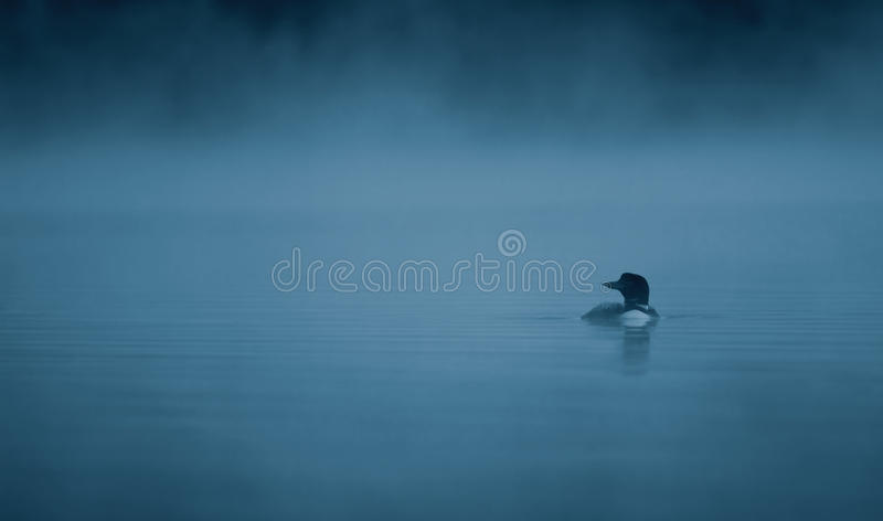 Common Loon in the blue hour. Common Loon Gavia immer swimming in the blue hour of the morning royalty free stock images