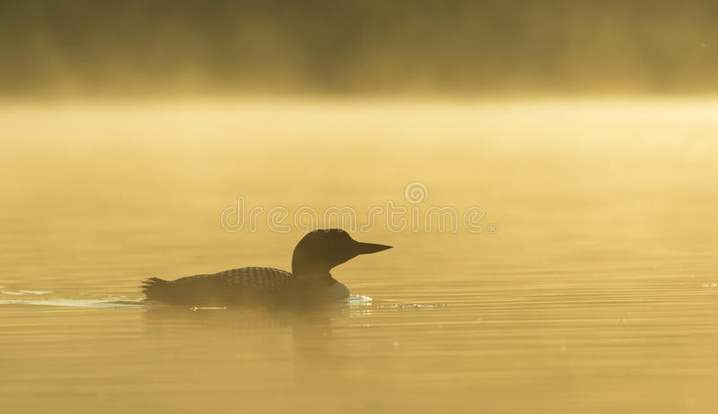 Common Loon Gavia immer swimming in early morning sunrise mist on a lake in Quebec, Canada royalty free stock photography