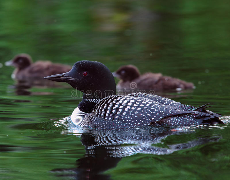 Common Loon Gavia immer with two baby chicks stock photo