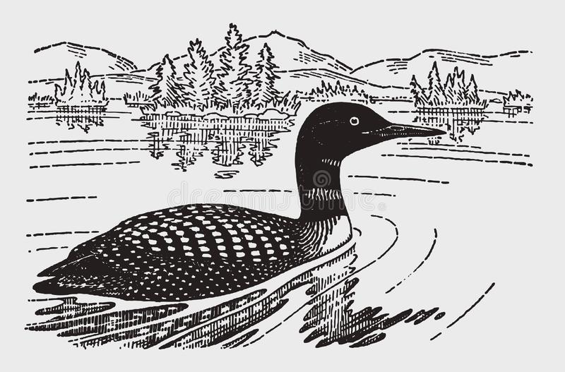Common loon or great northern diver gavia immer swimming on a lake stock photo