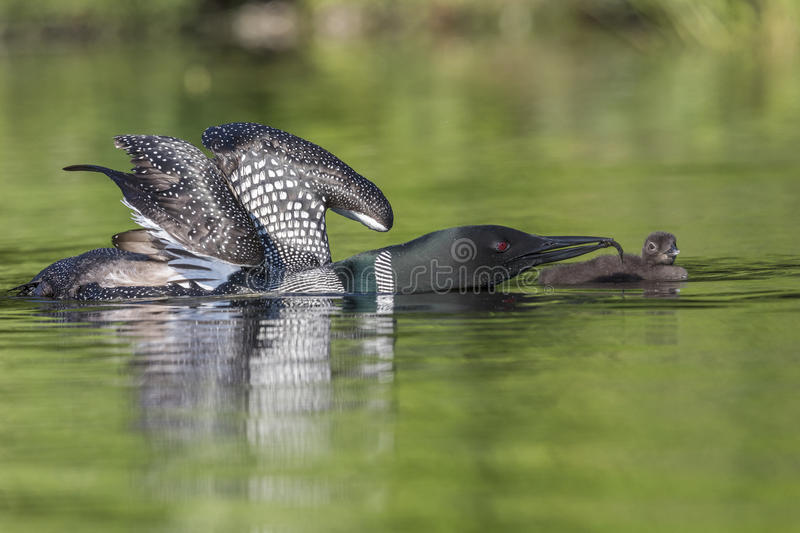 A Common Loon with wings stretched out feeds a fish to its week-old baby - Ontario, Canada. A Common Loon Gavia immer with wings stretched out feeds a fish to stock photo