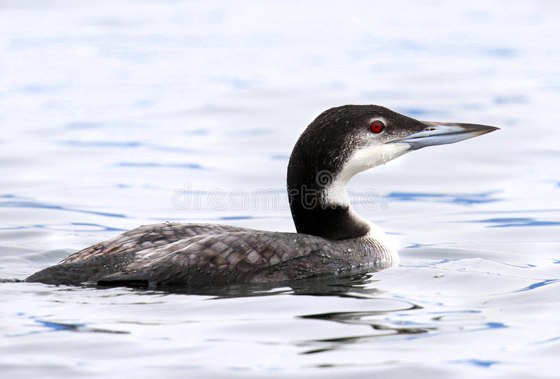 Common Loon in Winter Plummage, Canada royalty free stock image