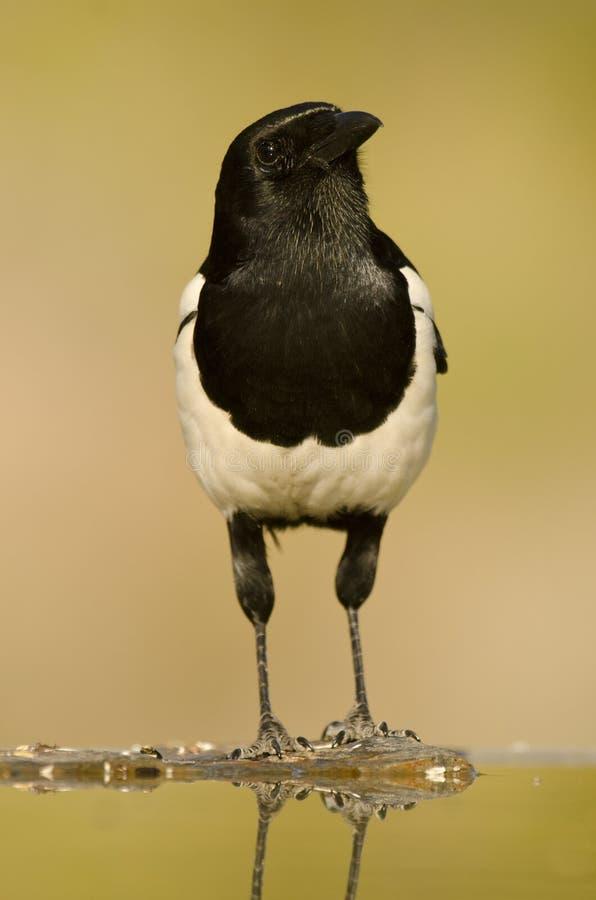 Common Magpie Stock Photo