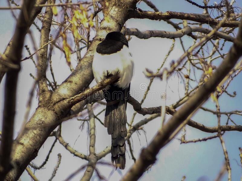 Common Magpie Pica Pica. Single bird perching on a tree branch in a bright January day. Beautiful bird, looking for a food. January mood stock photography