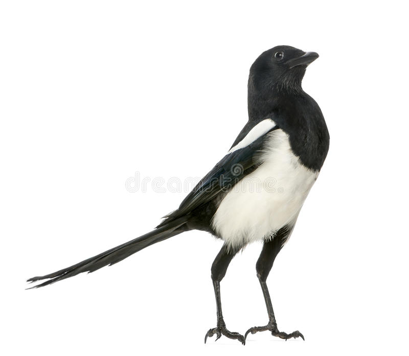 Download Common Magpie Upright Looking Up, Pica Pica, Isolated Stock Image - Image: 34062489
