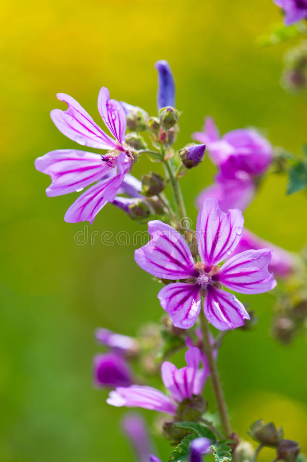 Common Mallow. Blooming Common Mallow in purple stock photo