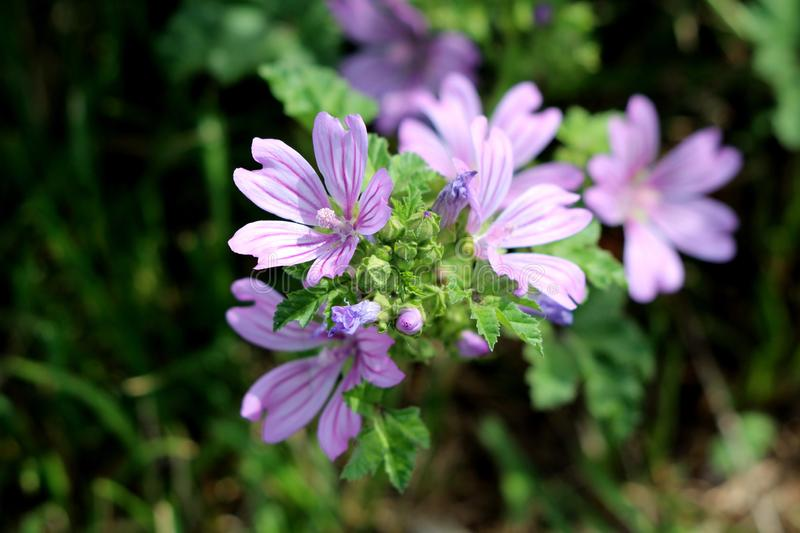 Common mallow or Malva sylvestris herb plant with closed flower buds and bright pinkish purple with dark stripes flowers. Common mallow or Malva sylvestris or stock photography