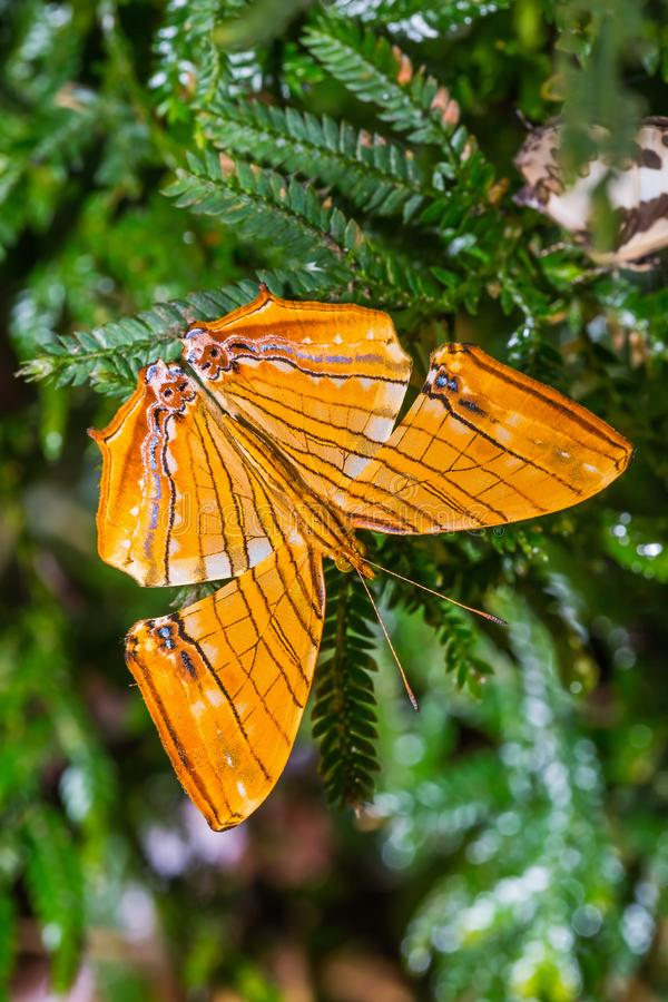 Common Maplet Chersonesia risa butterfly stock photography