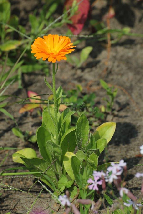 Common Marigold stock photos