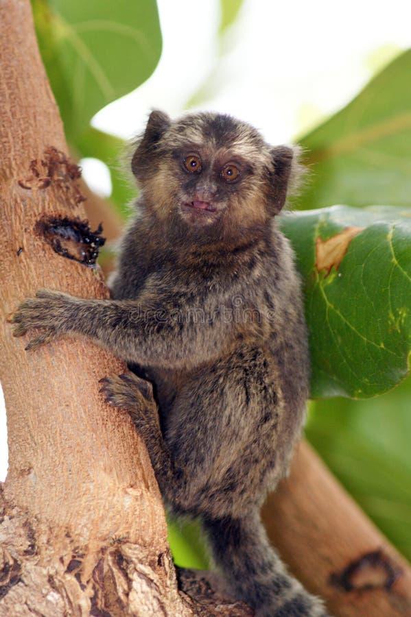 Common marmoset - callithrix pygmy royalty free stock photo