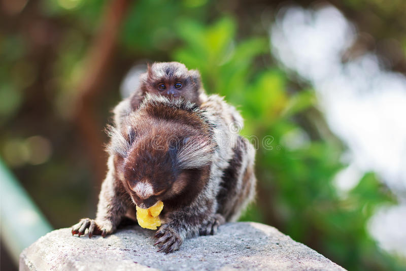 The common marmoset White-eared female monkey eating banana wit royalty free stock photography