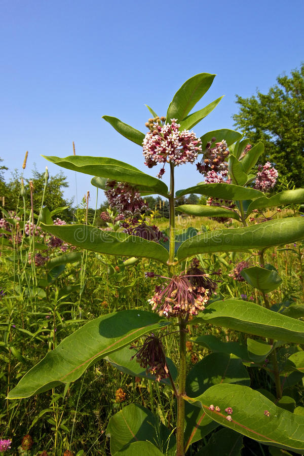 Common milkweed (Asclepias syriaca). In a sunny meadow. Milkweed is an important feed plant for the monarch butterfly. The larva of the monarch butterfly stock photography