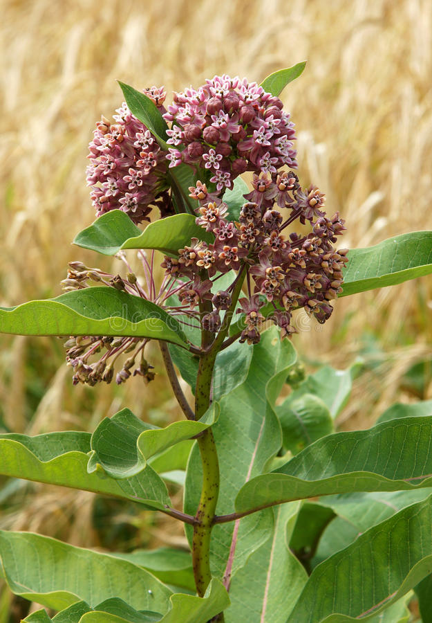 Common Milkweed flowers. Common Milk or Silkweed Asclepias syriaca growing near field royalty free stock photo