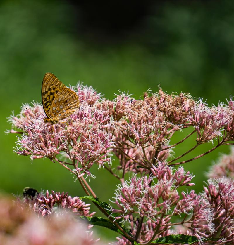 Common Milkweed and a Great Spangled Fritillary Butterfly royalty free stock photography