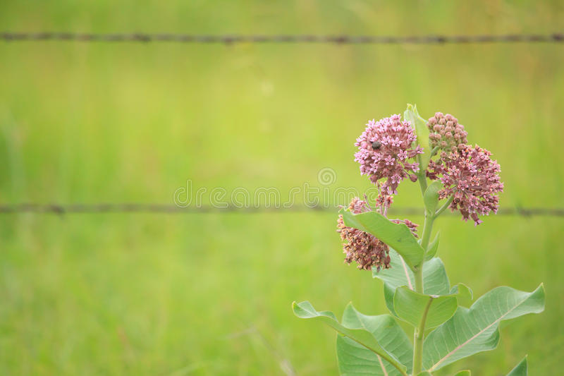 Common milkweed. Horizontal image of milkweed plant in front of a barbed wire fence royalty free stock photography