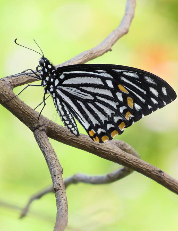 Common Mime Butterfly Up-close. Side view of a Common Mime butterfly Chilasa clytia clytia resting on a dead branch royalty free stock photo