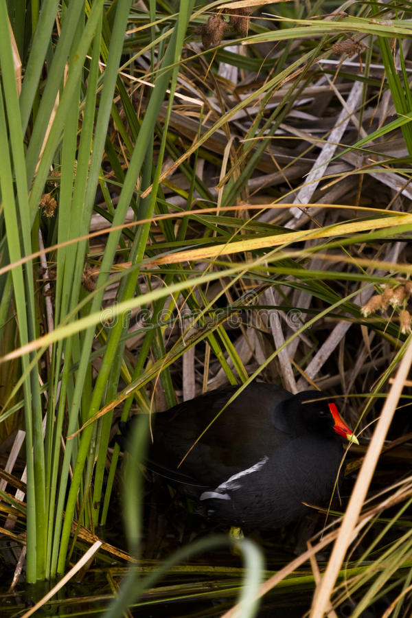 Common moorhen. In natural habitat on South Padre Island, TX royalty free stock photo