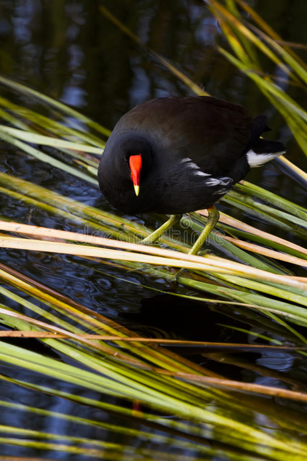 Common moorhen. In natural habitat on South Padre Island, TX stock image