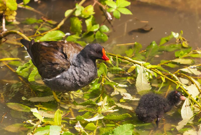 Common Moorhen. Adult Common Moorhen,Gallinula chloropus, with a chick. Gloucester, England. 24 July 2011 stock photos