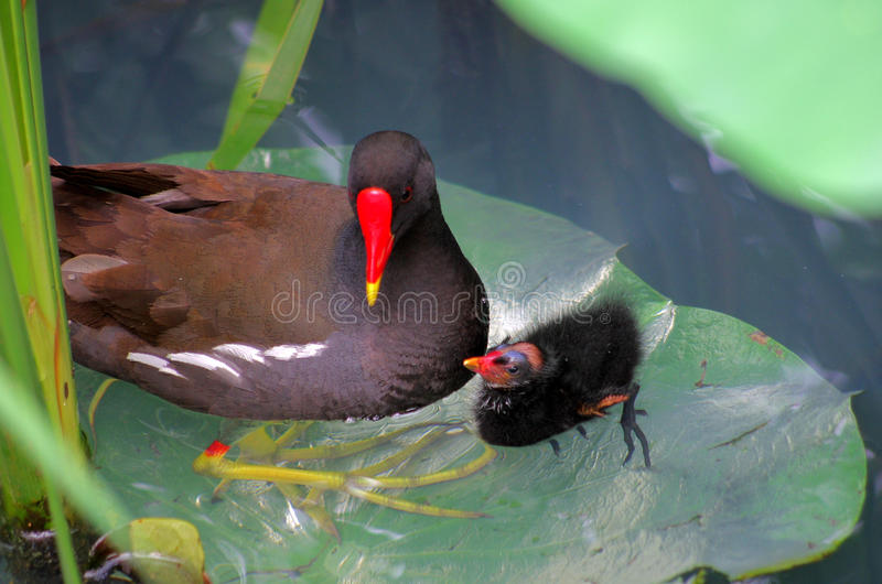 A Common Moorhen and a nestling royalty free stock image