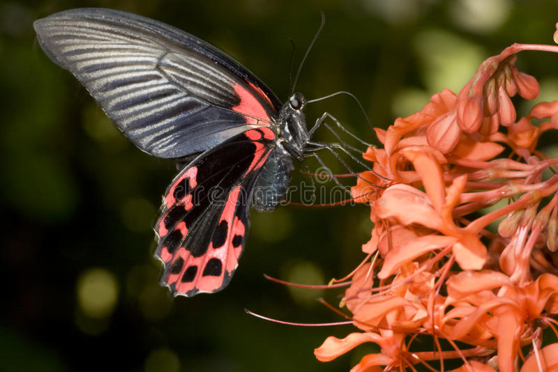 Download Common mormon stock photo. Image of insect, mormon, butterfly - 14606892