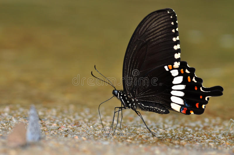 Common Mormon butterfly. Of thailand background royalty free stock photos