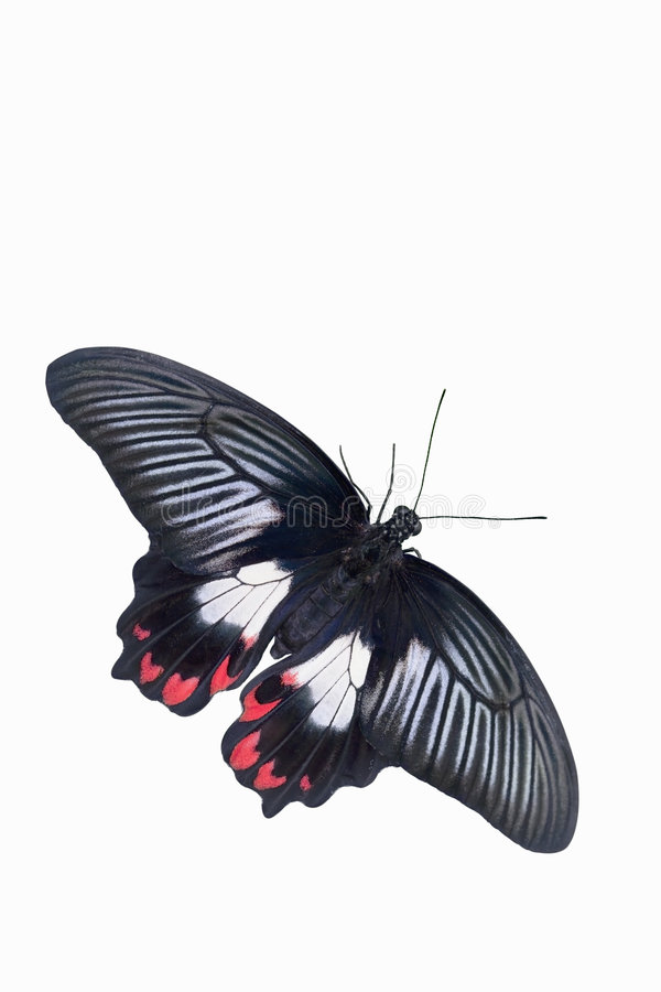 Common Mormon Butterfly. This is an image of a Common Mormon Butterfly (Papilio polytes) isolated on a white background. This beautiful and brilliant butterfly royalty free stock photos