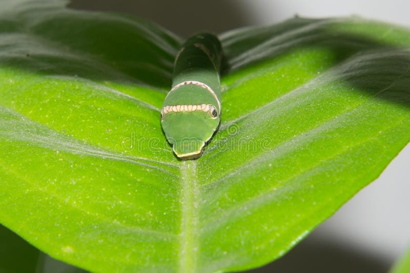 Common Mormon Butterfly Caterpillar. Front Side macro or closeup shop. This caterpillar is feeding on Citrus Tree leaves stock photo
