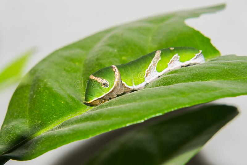 Common Mormon Butterfly Caterpillar. Macro or closeup shop. This caterpillar is feeding on Citrus Tree leaves royalty free stock image