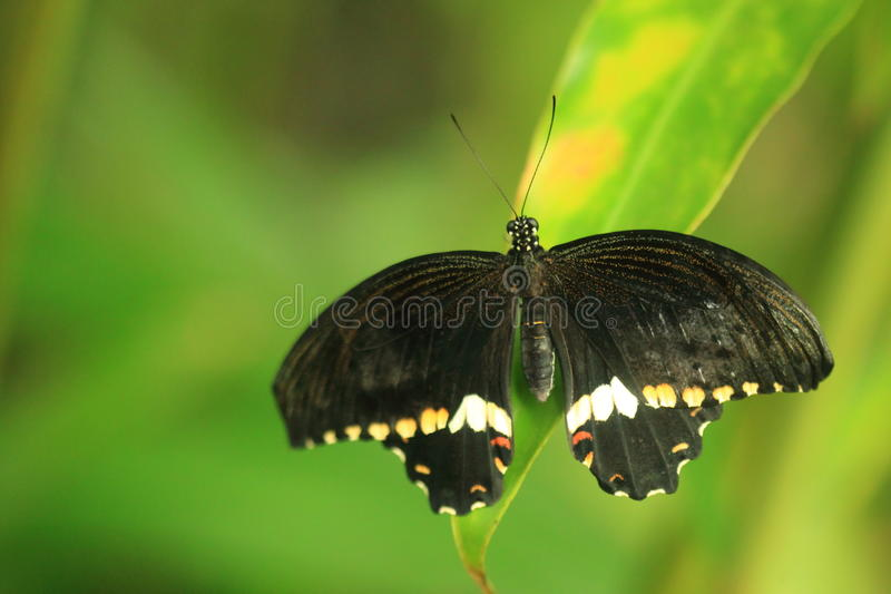 Common mormon butterfly. The female of common mormon butterfly on the leaf stock photography