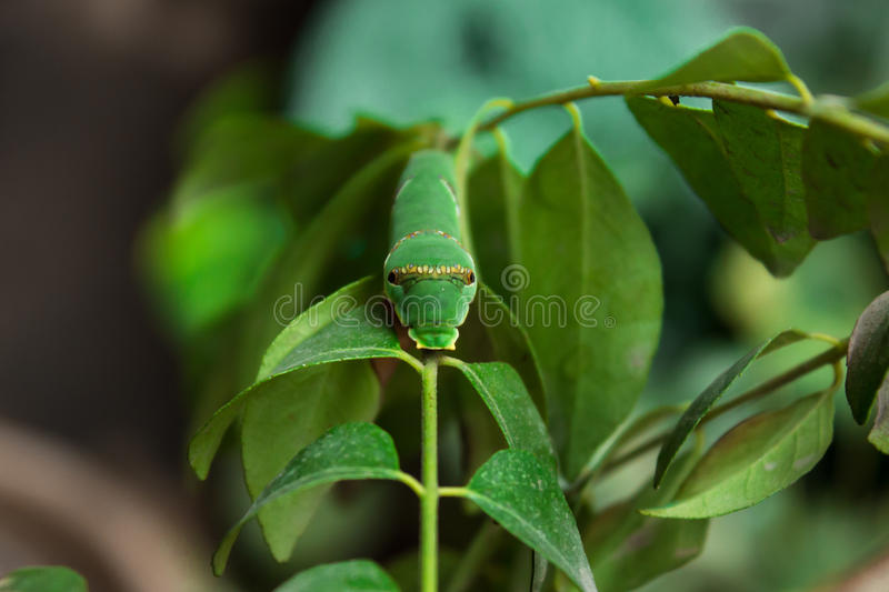 Common Mormon Caterpillar stock images