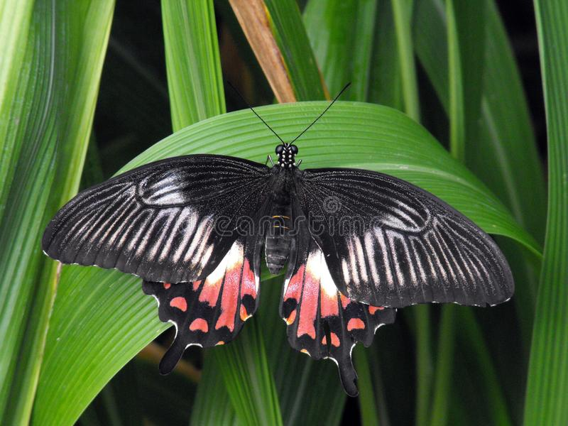 Common Mormon butterfly at rest with open wings. Common Mormon female Papilio polytes butterfly variation at rest with open wings stock photos