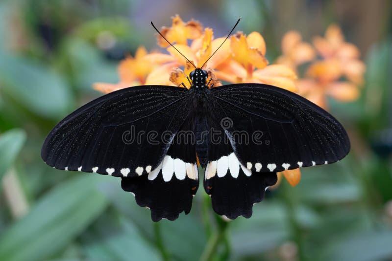 Common mormon, Papilio polytes. Common mormon Papilio polytes, close-up of the butterfly royalty free stock photos