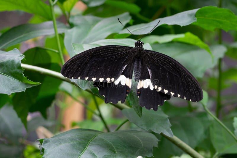 Common mormon, Papilio polytes. Common mormon Papilio polytes, close-up of the butterfly stock photos