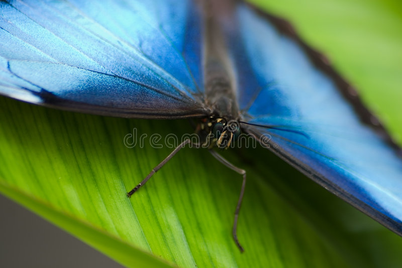 Download Common Morpho Butterfly stock image. Image of macro, eyes - 1723489