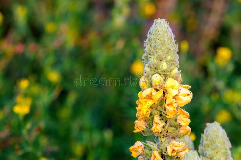 Common mullein or Verbascum thapsus flower. Low depth of field photo. Blossom, nature, plant, summer, yellow, beautiful, flora, great, natural, wildflower stock photos