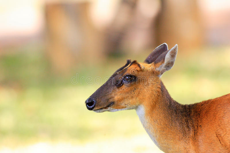 Common Muntjac royalty free stock photos