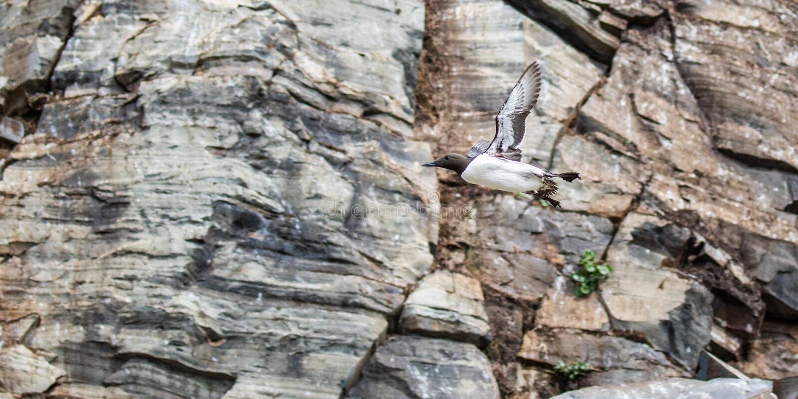 Common Murre. In Breeding Plumage Flying Along Cliff Of Nesting Area, Hornoya Island, Norway stock images